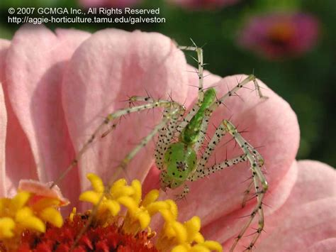 Lime Green Bedroom Beneficial Spiders In The Landscape 48 Green Lynx Spider
