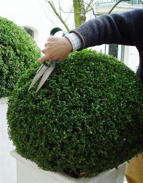 wann kann buchsbaum schneiden buxbaum schneiden buchsbaum schneiden die besten scheren
