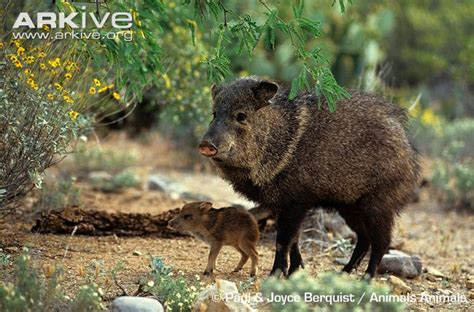 ecology conservation and management of pigs and peccaries books collared peccary photos and facts pecari tajacu