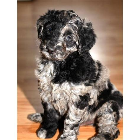blue merle aussiedoodle puppies for sale blue merle aussiedoodle soon to our own new aussiedoodle puppy in a few
