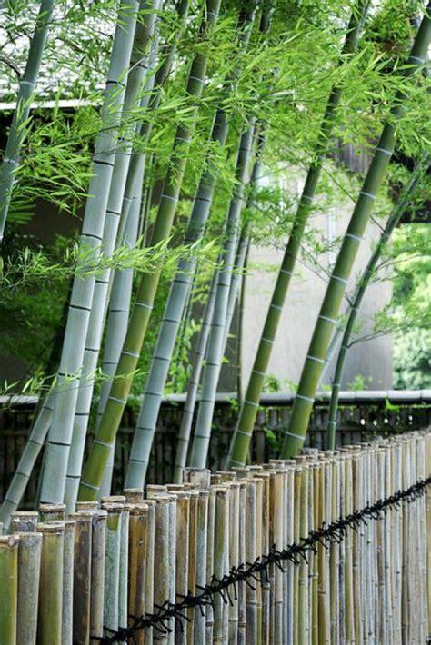 Impressionnant Planter Des Bambous Dans Son Jardin #5: Planter-des-bambous-grandes-tiges-de-bambous-vivants-pr%C3%A8s-de-la-cloison-bambou2.jpg