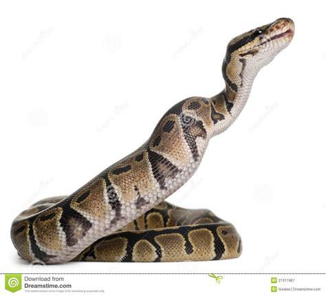 python royal python eating a mouse ball python royalty
