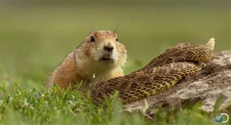 prairie dogs prairie risks to lure rattlesnake away from pups
