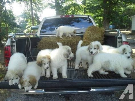 great pyrenees puppies for sale in great pyrenees puppies for sale for sale in danville virginia classified