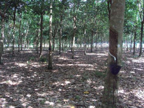tanah dijual kebun karet  produksi