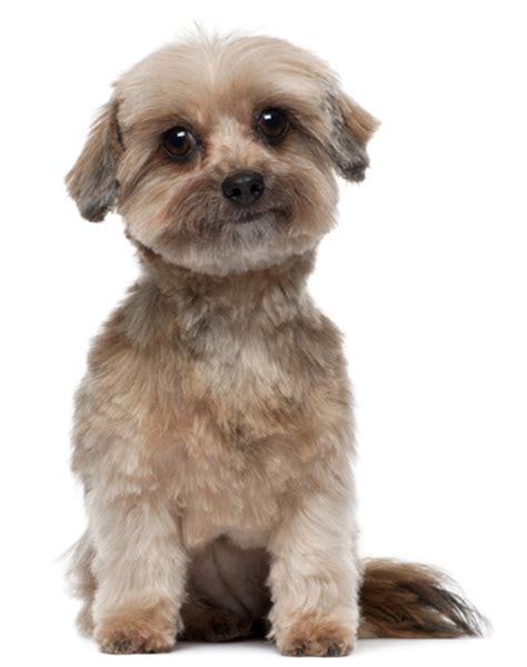 shih tzu common health problems shihtzu health problems anuvrat info