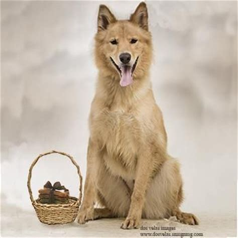 malamute golden retriever mix tober is a beautiful alaskan malamute golden retriever mix up for adoption in