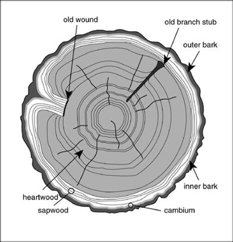 Tree Cross Section Diagram by Tree Cookies 6enders