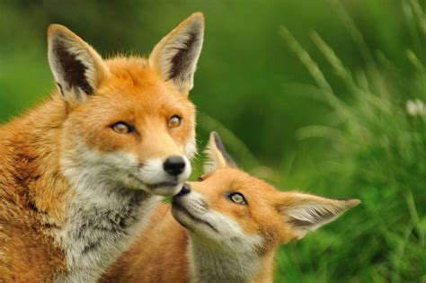 fox and cub kalus flickr