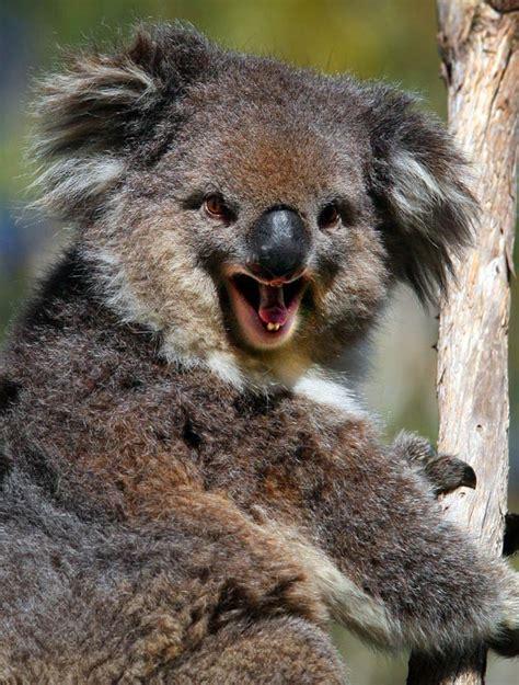 Bears Smile smiling animals koala goodtoknow