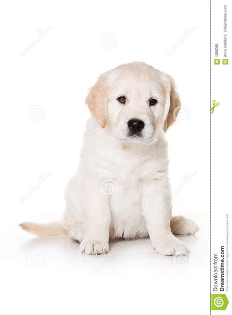 similar to golden retriever puppy golden retriever and pics stock image to at breeds picture