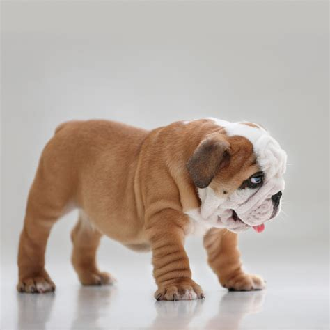 how many puppies do bulldogs bulldog puppies dogtime