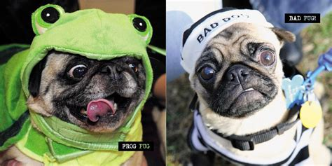 pugs in pictures of pugs in costumes www pixshark images galleries with a bite