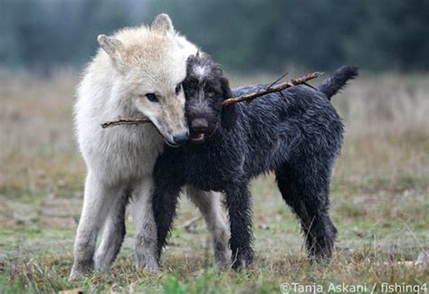 are wolves dogs view topic living in the wolf pack new open chicken smoothie