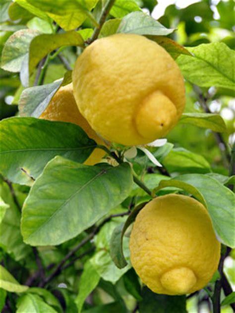 hardest plants to grow how to grow citrus indoors lemon grow guide