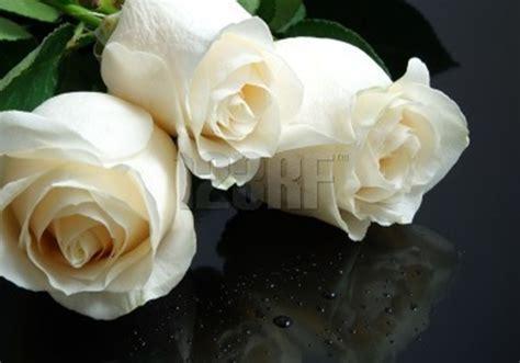 imagenes flores blancas imagenes fotos de rosas blancas