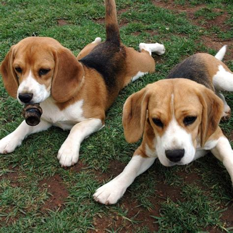 harrier puppies for sale beagle harrier puppies for sale beagle harrier the beagle harrier dogs breeds
