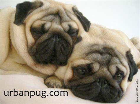 nature of pug my free wallpapers nature wallpaper pugs