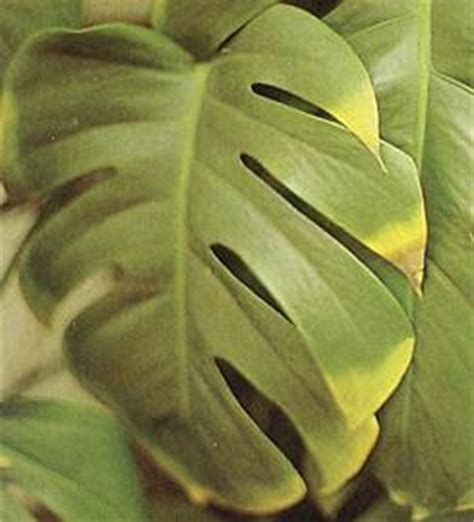 Piante A Foglia Larga Da Esterno by Philodendron Filodendro Araceae Como Curar Y