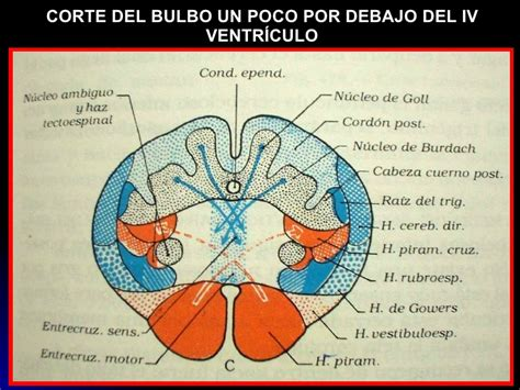 cuarto ventriculo tronco cerebral 1