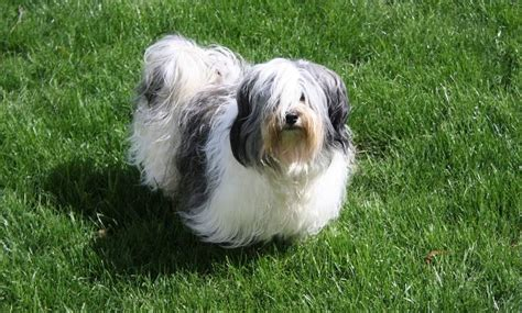 havanese reviews home breeds havanese havanese breed review breeds picture