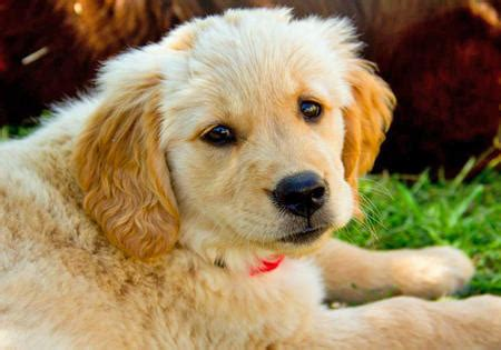 golden retriever diarrhea treatment puppies puppy names pictures of puppies more ev