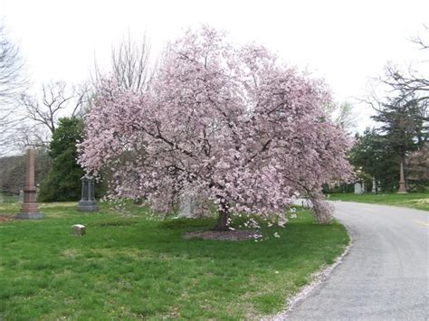 cherry tree zone 4 74 best ornamental trees for zone 4 5 images on landscaping forests and plants