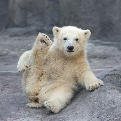 yoga bear  polar cub   resist showing