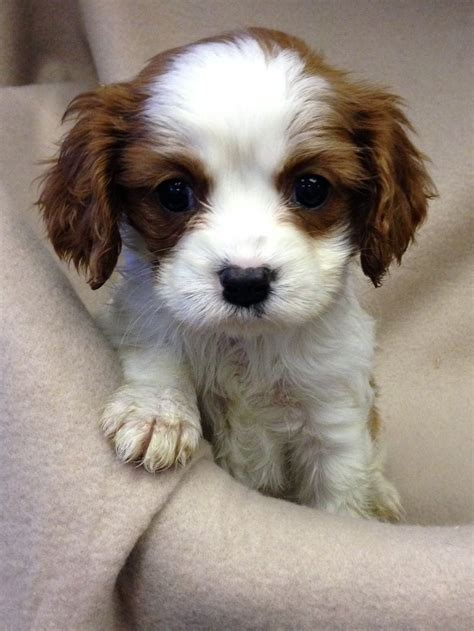king charles spaniel puppy cavalier king charles spaniel puppies west pets4homes