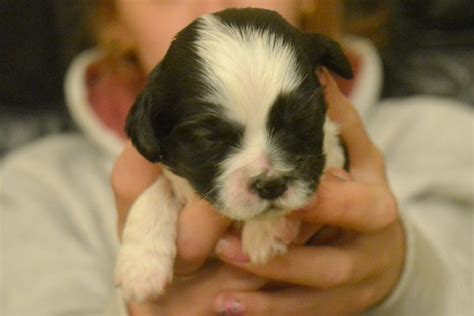 shih tzu x king charles cavalier the gallery for gt cavalier king charles spaniel mixed with shih tzu