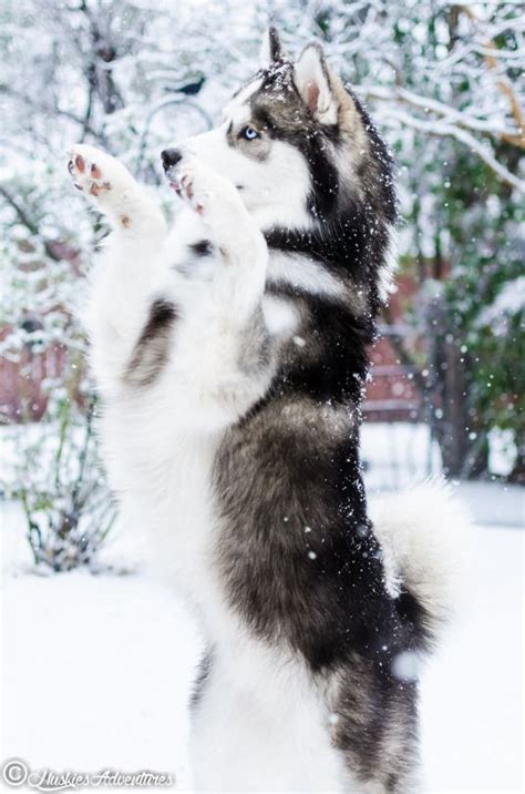 utonagan puppies for sale usa 100 best wolfdogs images on