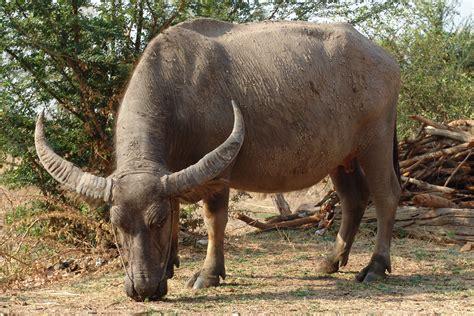 Buffalo L by Bufalo Agrariasarzi