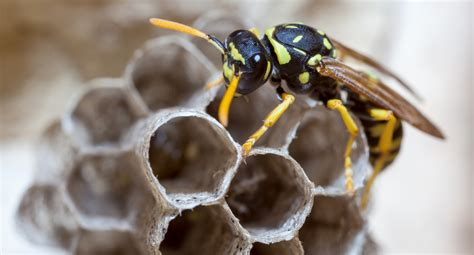 How To Make Paper Wasps - facts about paper wasps terminix