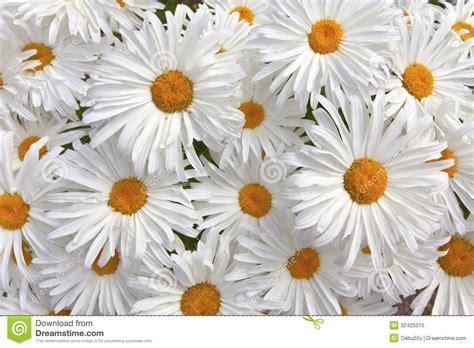 imagenes margaritas blancas margaritas blancas gallery