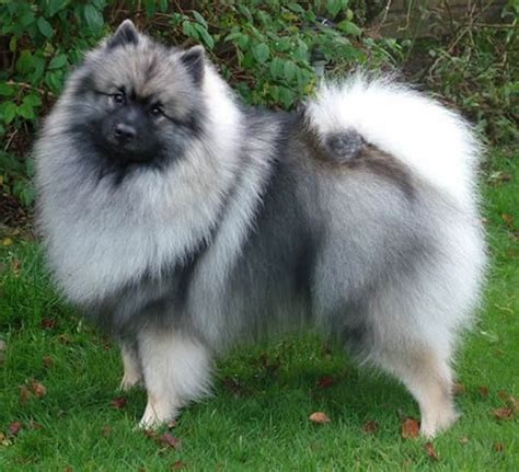 keeshond dogs keeshond pet animals wiki pictures stories