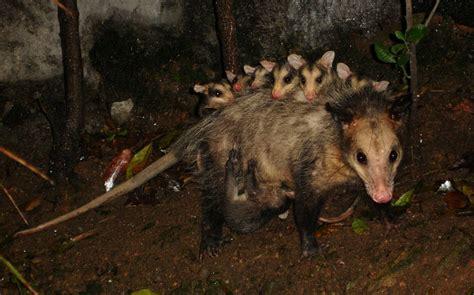 imagenes de animales faras para preservar a la zarig 252 eya consumir 225 n su carne