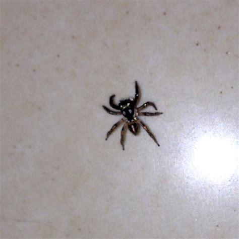 tiny tiny tiny jumping spider anasaitis canosa bugguide net