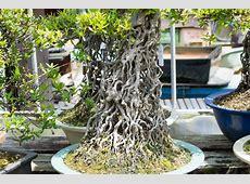 Rakujyuen satsuki bonsai garden - Bonsai Tonight Minoru Bonsai