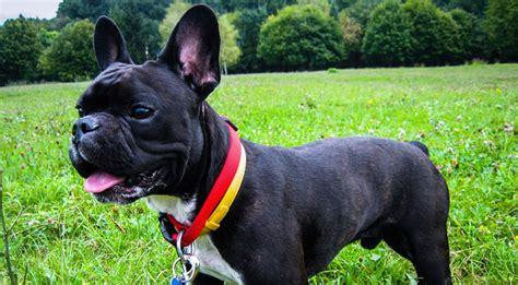 improve  french bulldogs skin coat