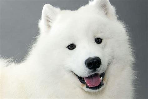 samoyed puppies michigan samoyed tto splint support brace in detroit michigan mi stifle injury no