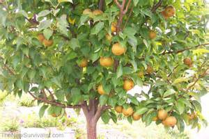 Asian Fruit Trees - long term storage of special survival foods
