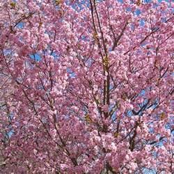 prunus beni yutaka buy cherry blossom tree flowering cherry trees
