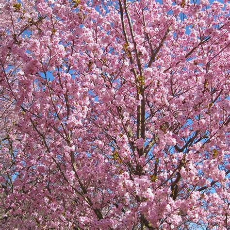 prunus beni yutaka buy cherry blossom tree flowering cherry trees
