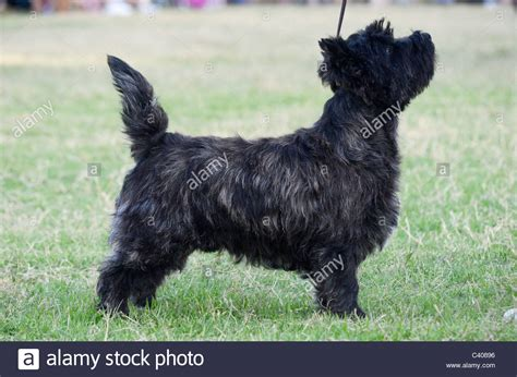 cairn terrier show cut 100 cairn terrier breed cut instructions grooming a