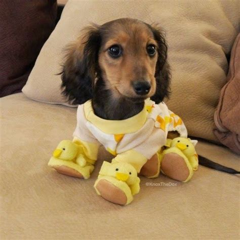 dachshund bed 25 best ideas about dachshund on pinterest weenie dogs