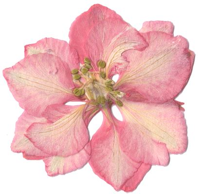 hi res image of pink larkspur