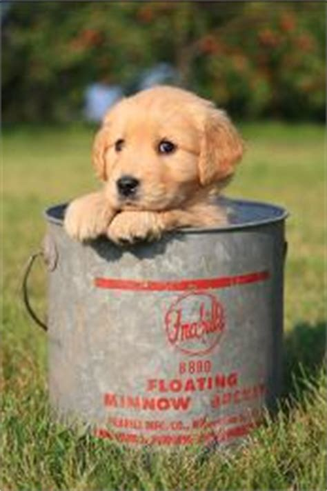 golden retriever puppies adoption mn golden retriever puppies for sale breeder in minnesota tails of gold retrievers