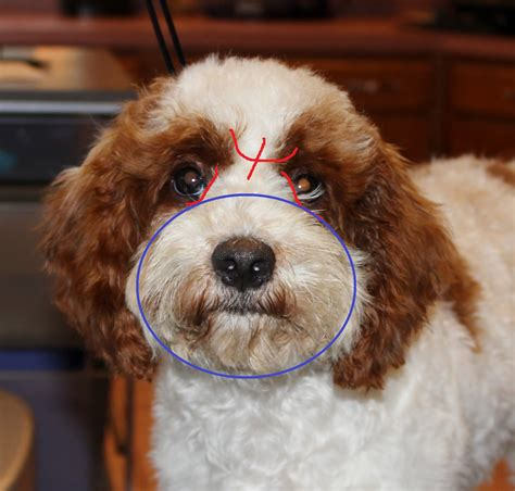 round face dog cut how to groom a cockapoo s face part ii eden dog