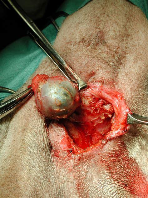 cisti sul sedere chirurgia laser studio medico veterinario