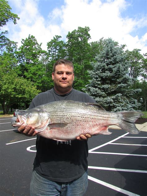Records Ohio New Ohio State Record Hybrid Striped Bass Certified Your Ohio Angler